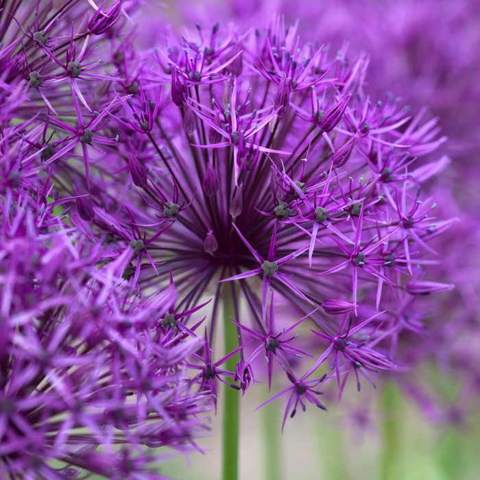 Allium 'Purple Rain' - 5 Stk