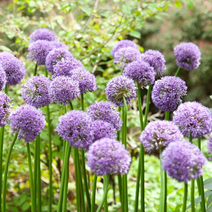 Allium 'Gladiator' - 1 Stk