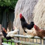 Anders als Enten und Gänse sind Hühner polygam. Ein Hahn hat mehrere Hennen in seinem Hühner-Harem. Den Hennen gefällt diese Konstellation, denn der Hahn ist der  Aufpasser der Herde. Während die Hühner fressen, hält er Ausschau nach Habicht, Fuchs oder Katze.