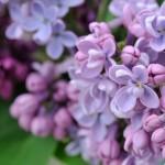 Syringa vulgaris 'Mrs. Edward Harding', gefüllte magenta Blüten mit starkem Duft