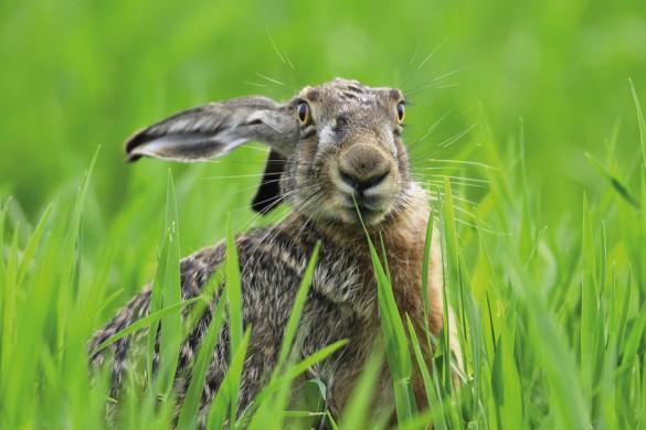 Mit allen Sinnen auf Zack: Mit seinen langen Ohren (der Jäger nennt sie Löffel) hört der Hase hervorragend. Sein Geruchssinn ist ebenfalls erstklassig und die langen Barthaare helfen ihm beim Ertasten der Umgebung und bei der nächtlichen Futtersuche. Die Augen sehen auch noch in der Dämmerung gut.