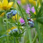 Das Farbspektrum und die Vielfalt von Blumenwiesen ist schier unendlich. Besonders schön sind die azurblauen Blüten der Vergissmeinnicht in Kombination mit gelben Butterblümchen.