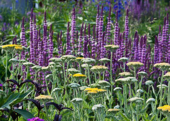 Starke Farb- und Formenkontraste bilden kerzenförmiger blauer Steppensalbei (Salvia nemorosa 'Amethyst') und gelbe Schafgarbe (Achillea filipendulina).