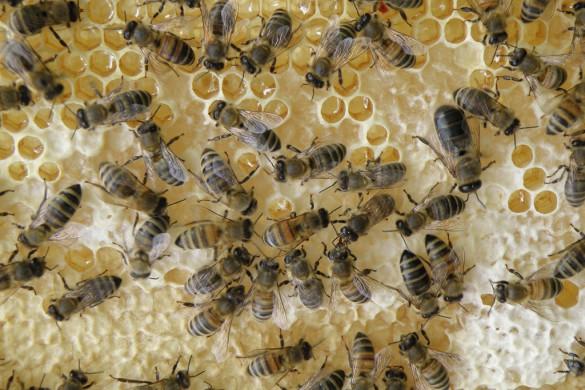 Arbeiterinnen füllen fleißig die Honigwaben. Auf einigen Waben sind noch keine Wachsdeckel. Erst wenn die Waben voll sind, werden sie mit einem Deckel verschlossen. Das Wachs dafür schwitzen die Arbeitsbienen aus Wachsdrüsen am Bauch aus.