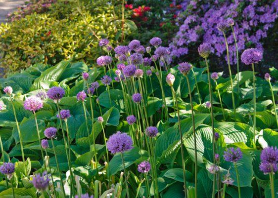 Zierlauch braucht nur wenig Platz im Garten. Gepflanzt zwischen Stauden wie Funkien, mit ihren großen dekorativen Blättern, treibt er früh aus, zieht aber auch nach der Blüte relativ schnell wieder ein.