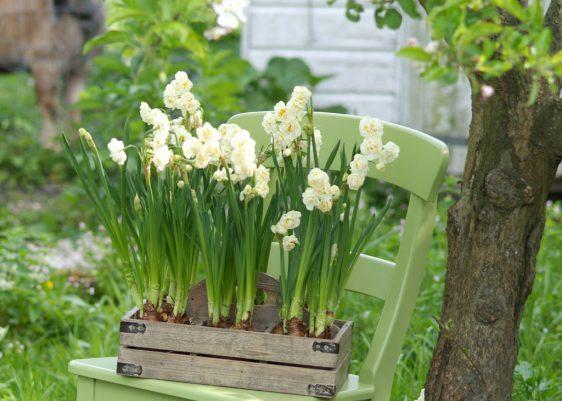 """Die dicht gefüllte, mehrblütige Narzisse """"Bridal Crown"""" eignet sich ideal für Beete oder auch Blumentöpfe. Wir haben sie einfach in eine Holzkiste gepflanzt. Das sieht traumhaft schön aus und duftet herrlich nach Frühling. Da staunt auch der Ziegenbock."""