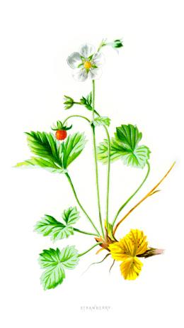 Woodland Strawberry - Fragaria vesca