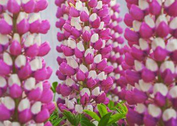 Lupine (Lupinus-polyphyllus-Hybride). Ein Bild von einer Garten-Lupine ist die  80 cm hohe Sorte 'Schlossfrau' mit rosafarbenen Blüten und weißer Fahne.