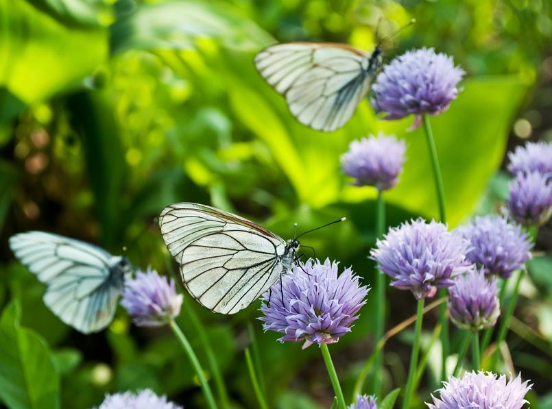 Бабочки на диком луке