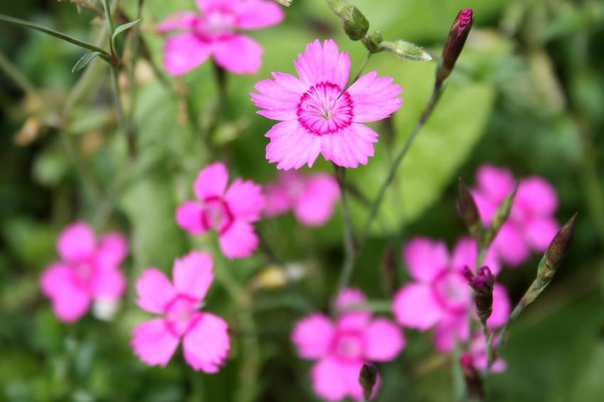 Garten-Heide-Nelke (Dianthus deltoides)