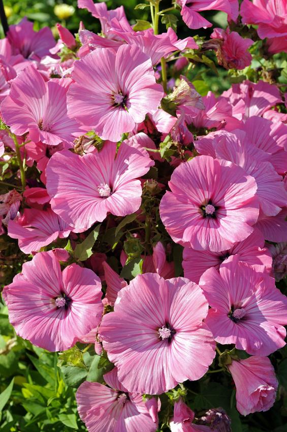 Gemeinsame Sommerblumen im Staudenbeet - Gartenzauber #EH_42