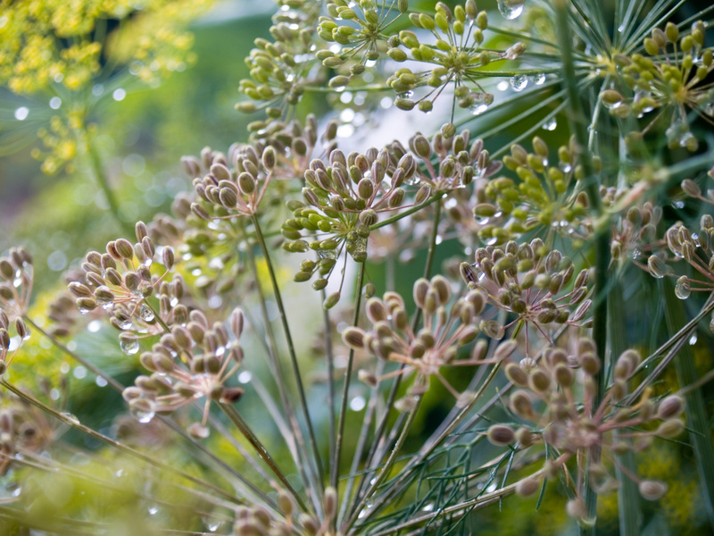 Dill going to seed in the garden