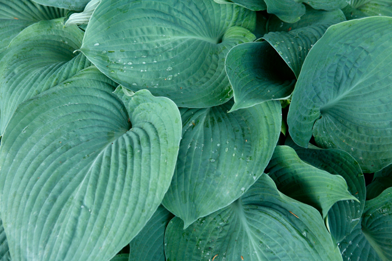 Blaublatt-Funkie (Hosta sieboldiana)
