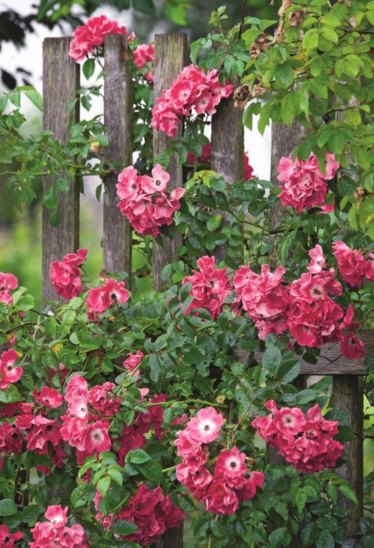 rosa charme und rote leidenschaft gartenzauber. Black Bedroom Furniture Sets. Home Design Ideas