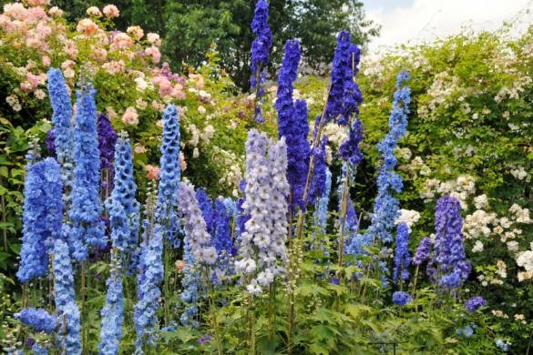 Laut Karl Foerster geht Rittersporn zusammen mit Rosen die schönste Schönheitsehe ein.