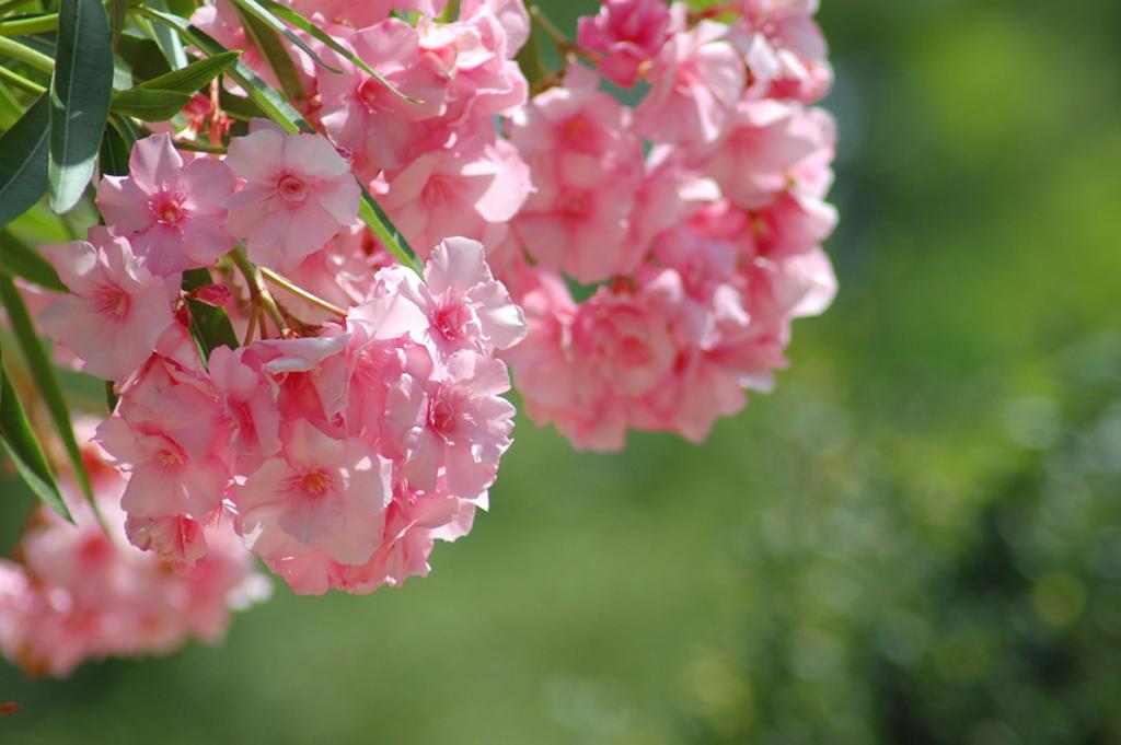 Sinnbild des Südens – ab Juni blüht der Oleander wieder. Wichtig: beim Frühjahrsrückschnitt die Triebe nur um ein Drittel einkürzen, sonst fällt die Blüte aus, da die Knospen am Vorjahresholz gebildet werden.