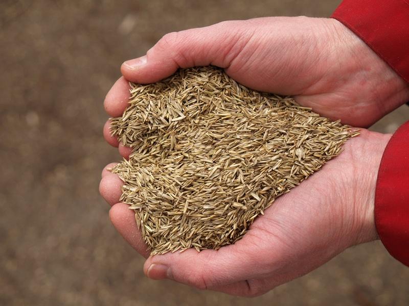 Heart from grass seeds, closeup