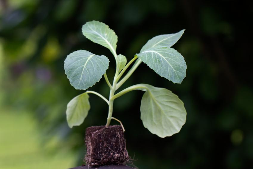 Kohlpflanze,junger Setzling