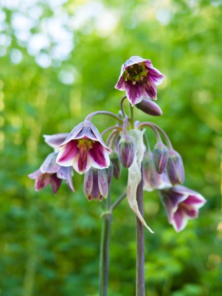 Mit seinen rötlich-grünen, nickenden Blütenglocken tanzt der Bulgarische Lauch etwas aus der Reihe. Eine charmante Kuriosität für Pflanzenliebhaber.