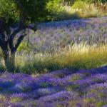 Endlose Lavendelreihen prägen das Bild. Die Landschaft der Provence leuchtet die Sommermonate über blau.