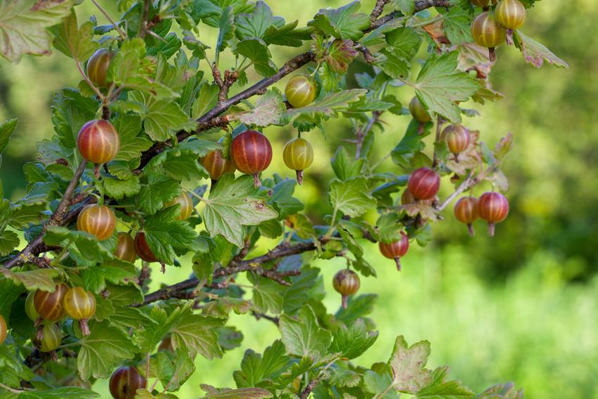 gooseberry growing