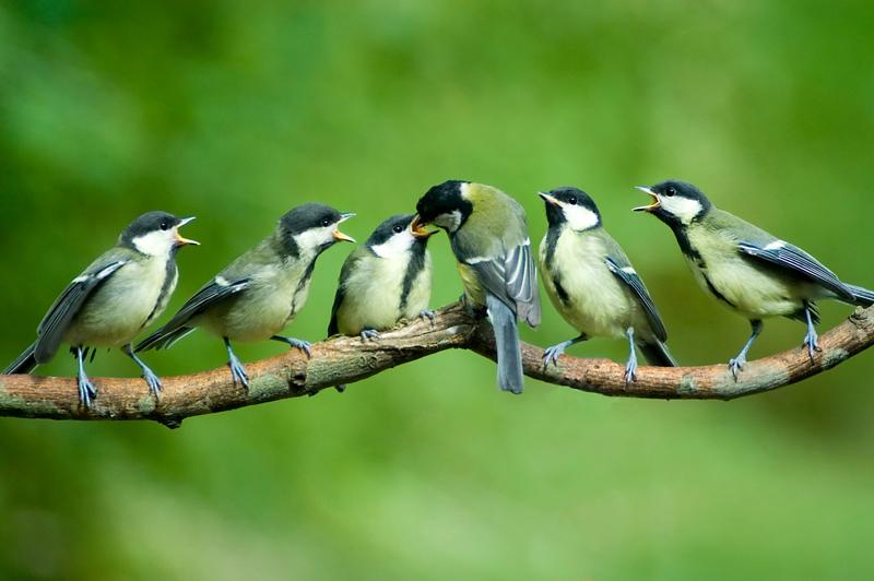 Weil die Aufzuchtphase für Elternvögel ein Hetzen nach Futter von den ersten bis zu den letzten Sonnenstrahlen des Tages bedeutet, benötigen sie jetzt sogar noch mehr fettummanteltes Futter als in nahrungsknapper Winterzeit, wenn sie ''nur'' sich selbst versorgen müssen.