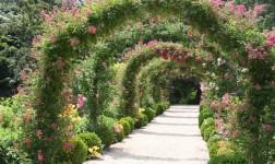 Rambler Rosen – hoch hinaus