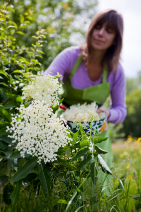 Picking Elderflowers to make Cordial