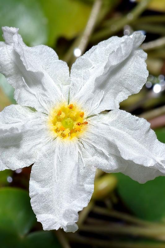 neu1024px-Nymphoides_ezannoi_-_blossom_(aka)