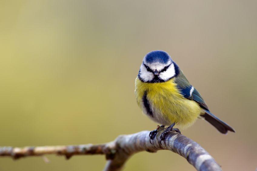 Blaumeise (Parus caeruleus) - Gartenzauber