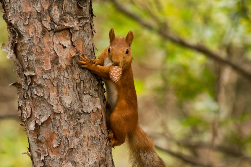 Der Körperbau eines Eichhörnchens ist perfekt an ein Leben in den Bäumen angepasst. Die langen Hinterbeine mit einer stark ausgeprägten Muskulatur machen das schnelle Klettern und Springen möglich.