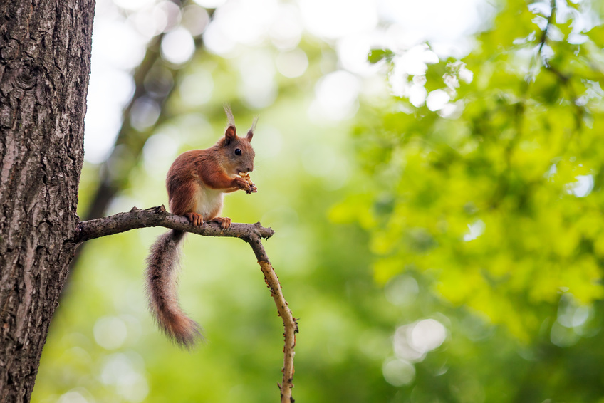 Am wohlsten fühlen sich die flinken Kletterer in schwindelerregenden Höhen. Auch auf dünnen Ästen sitzen sie ganz entspannt.