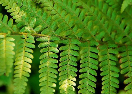 Kaum eine Pflanzengruppe eignet sich besser für die Bepflanzung schattiger Gartenecken als Farne.