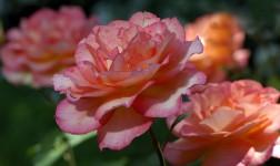 Rosen – Pflegetipps für rosige Zeiten