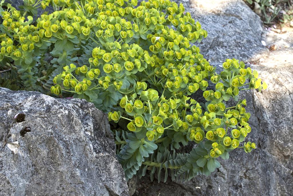 Wolfsmilch vielfalt f r den garten gartenzauber - Pflanzen fur steingarten winterhart ...