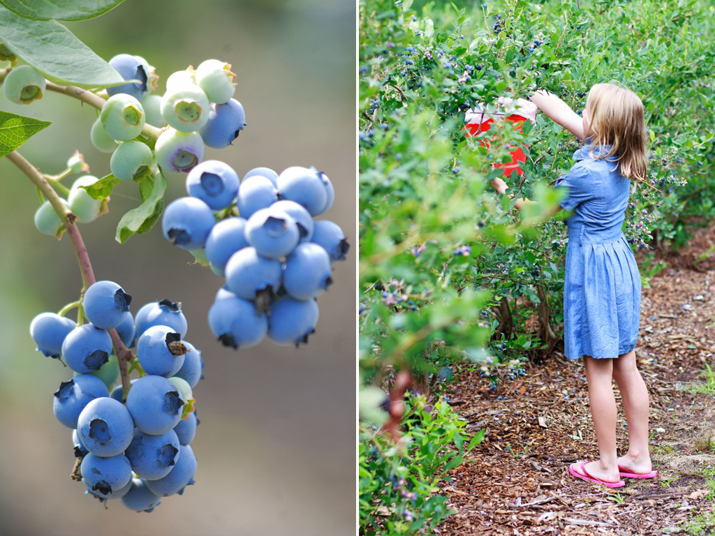 Blaubeere Amerikanisch Gartenzauber