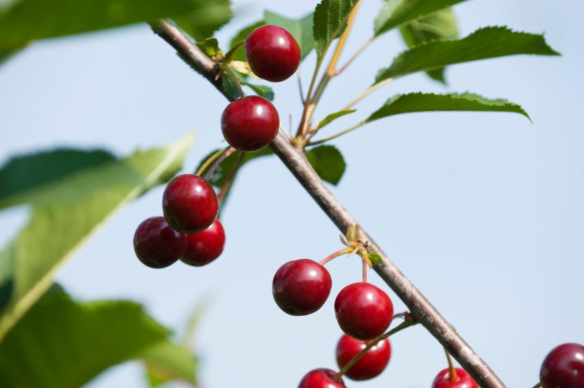 Zweig einer Sauerkirsche Prunus cerasus