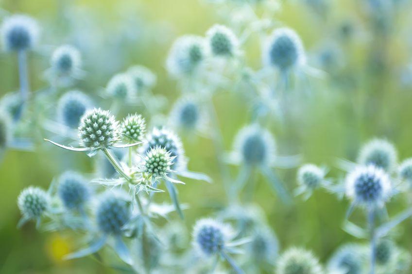Wer denkt bei Edeldisteln an Doldenblüher? Eryngium alpinum bildet sehr schöne, silbrig-blaue Blütenstände, die wunderbare Strukturen in ein sonniges Beet bringen und sich zum Trocknen hervorragend eignen.