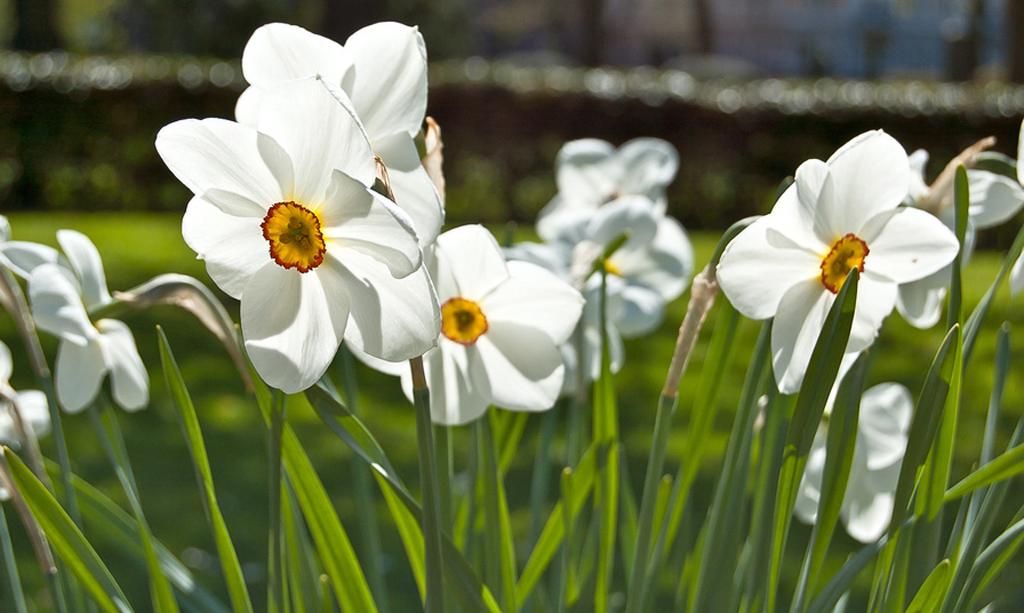 Jonquilles blanches - Narcissus jonquilla