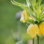 Kaiserkrone gelb (Fritillaria)