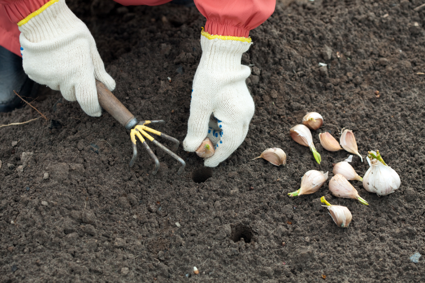 gardener sets garlic in soil
