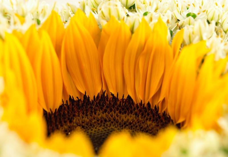 Bild 1_zonnebloem-helianthus-1-bloemenbureauholland-547x377