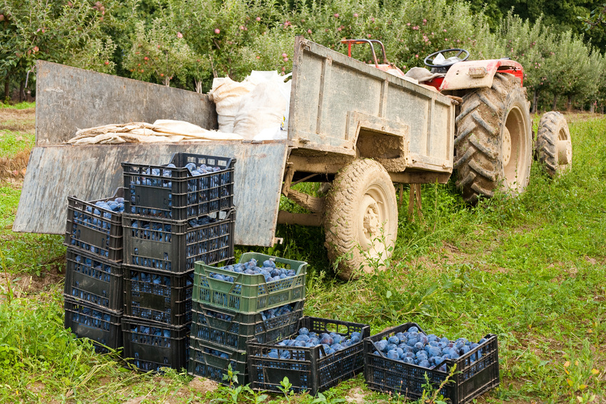 Boxes with plums near tractor - harvesting concept