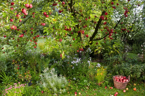 apple tree and apples in a basket