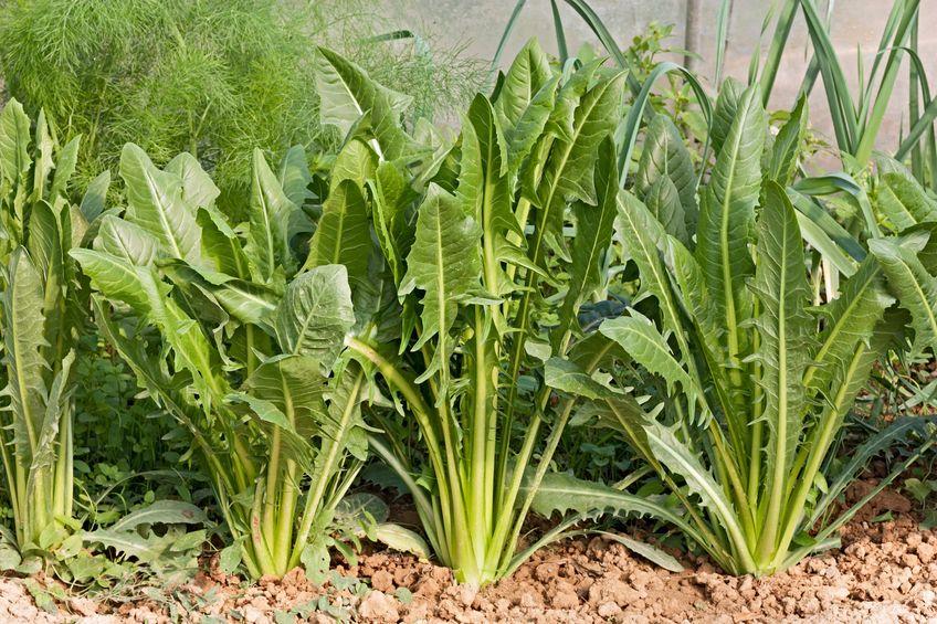 Chicorée Gartenzauber
