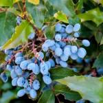 Die blau-schwarzen Früchte der Mahonie sind ab September reif und werden gerne von Vögeln gefressen.