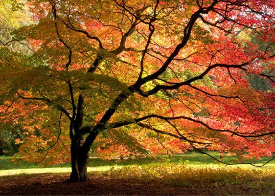 Japanischer Fächerahorn – Schönheiten der Stille – mit seinem Herbstkleid versetzt er den Betrachter in eine andere Welt.