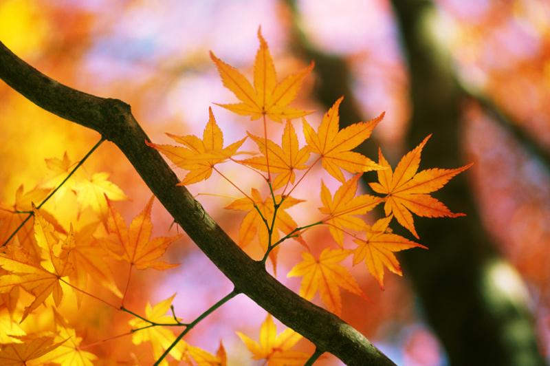 Acer palmatum 'Sangokaku' ist eine wertvolle Sorte für alle, die es Goldgelb lieben. Die Rinde junger Zweige ist korallenrot.