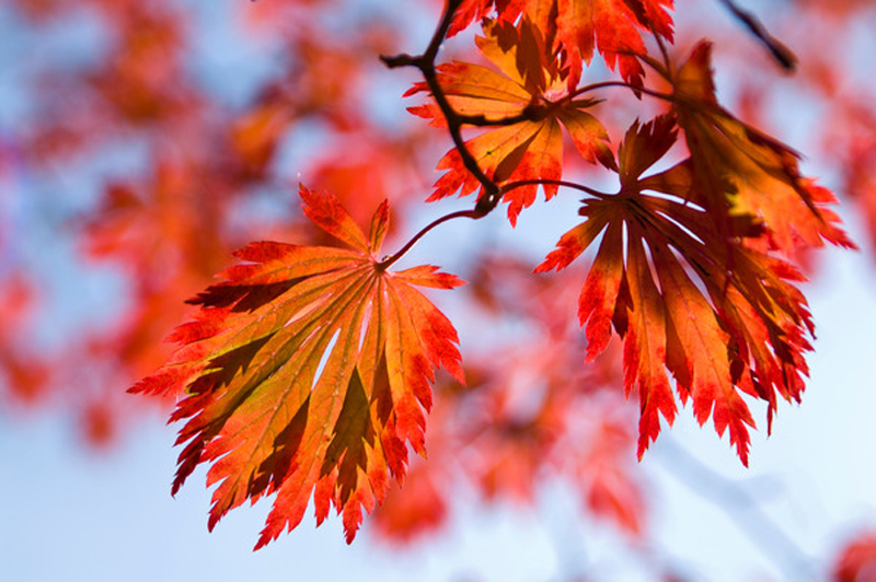 Vom grünen Sommerkleid keine Spur mehr. Jetzt läuft der Eisenhutblättrige Japan-Ahorn zur herbstlichen Höchstform in Orange-Rot auf.