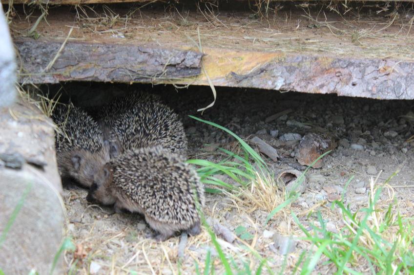 Nach 25 Tagen verlassen die Jungen erstmals das Nest und unternehmen kleinere Ausflüge. Nach sechs Wochen sind die Jungtiere selbstständig.